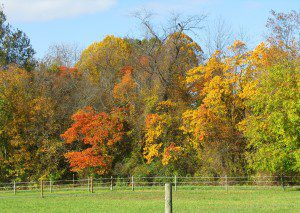 The reds, oranges, and yellows of Sassafreas line a hedrwo at Woodlawn Preserve(photo by Derek Stoner 10.25.09)
