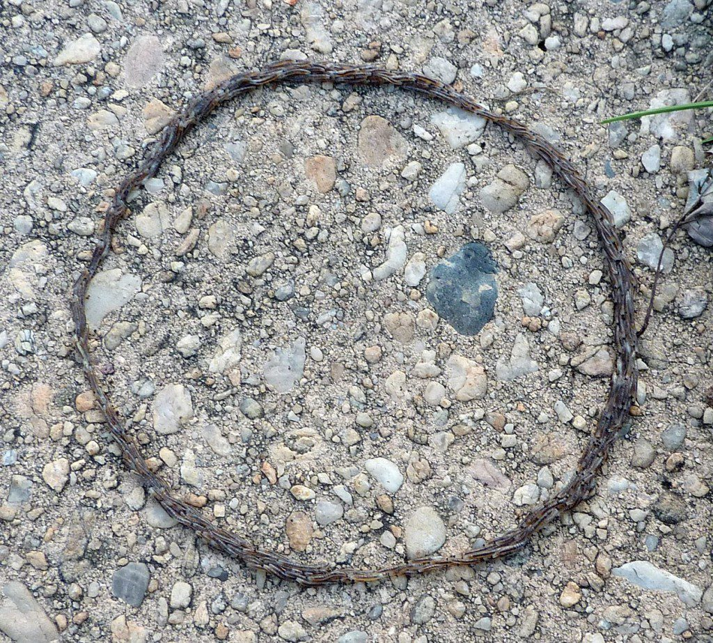 Strange insect larvae walking in a circle on a sidewalk.  Photo by Paul Dreyfus.