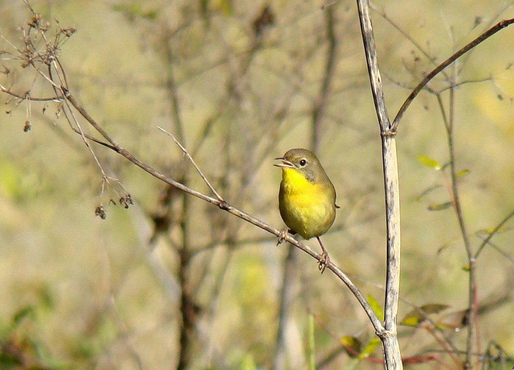 A Common Yellowthroat in winter plumage.  Photo by Joe Sebastiani