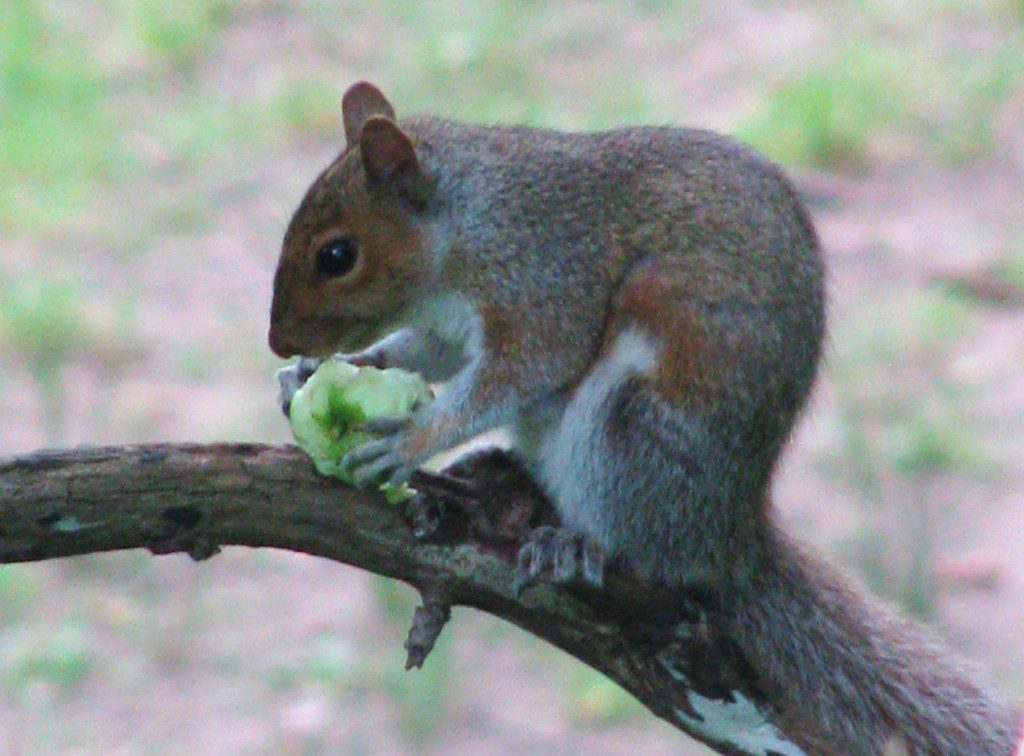 A Gray Squirrel devours a wild apple.