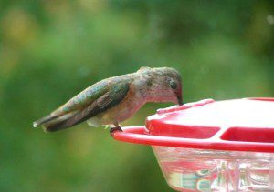 A young male Rufous Hummingbird sips from a nectar feeder in Avondale, PA.  October 2009 photo by Kathy Weaver.