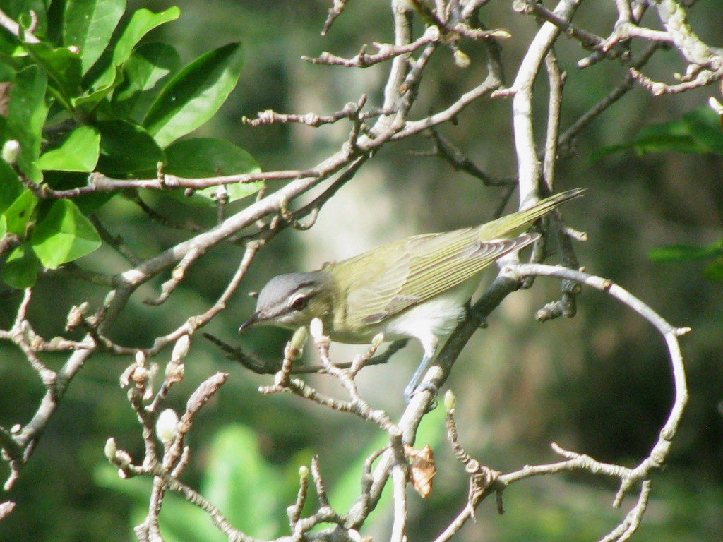 A Red-eyed Vireo, by Derek Stoner.