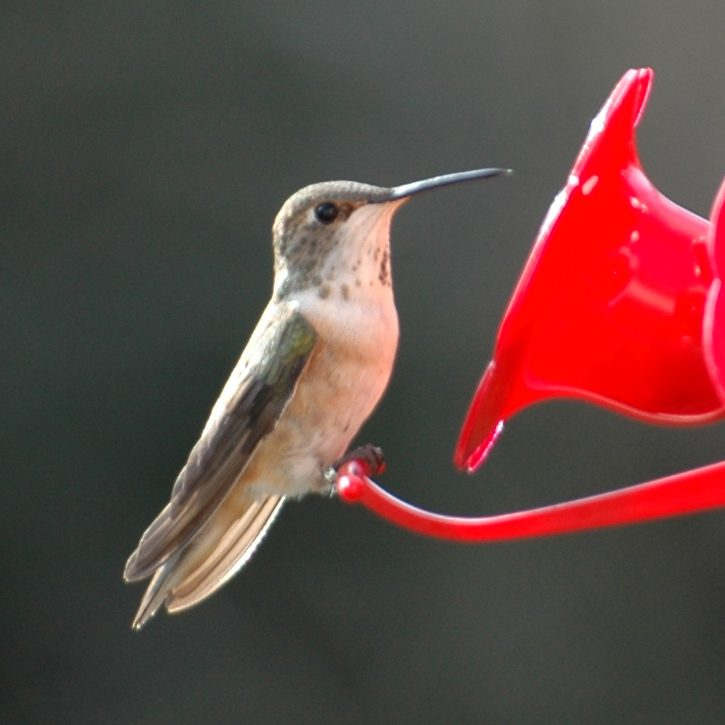 A Rufous Hummingbird visitng Jim White's feeder in Winter 2006.  Notice the silver band on the bird's leg!  Photo by Jim White.