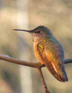 A Rufous hummingbird perches on branch on January 22, 2009.  Photo by Derek Stoner.