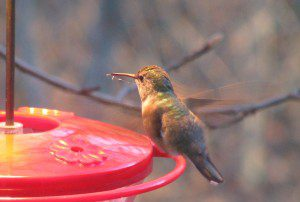 An immature male Rufous Hummingbird perches on a feeder in Dover, DE, on January 22, 2009.