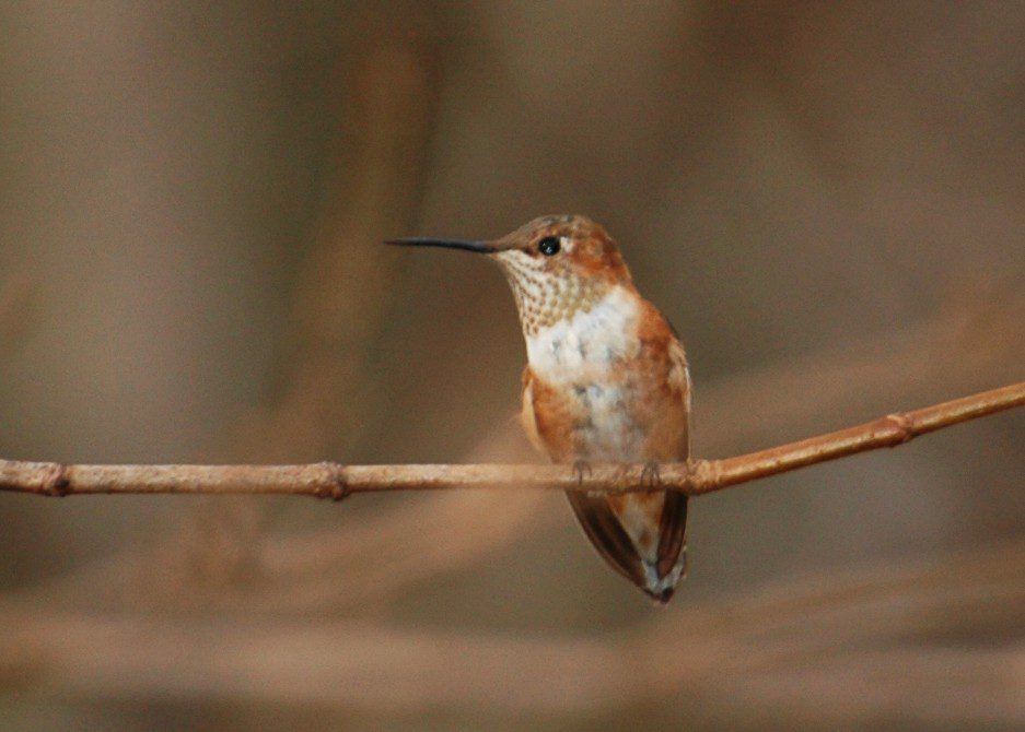An immature male Rufous Hummingbird rest on a branch after being baded.  Photo by Jim White, November 2006