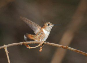 A young male Rufous Hummingbird stretches his wings.  December 1, 2006 photo by Jim White.