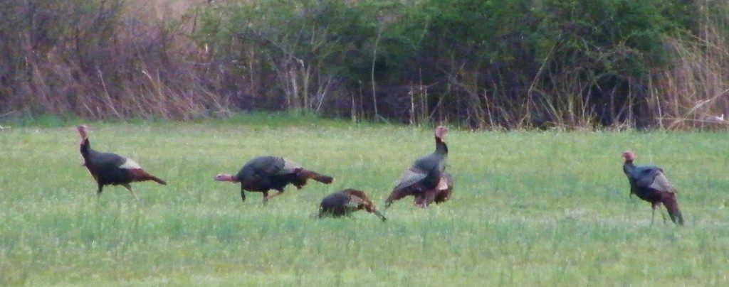 Wild Turkey populations almost disappeared , but conservation efforts have brought their populations back to abundance.