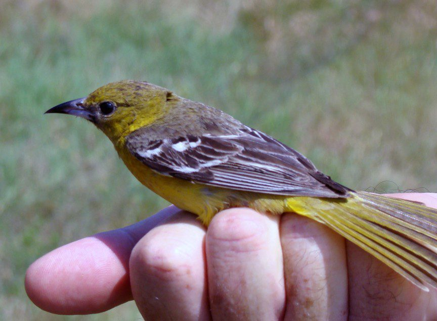 A female Orchard Oriole, by Joe Sebastiani