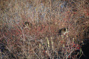 Raccoons dining on rose hips