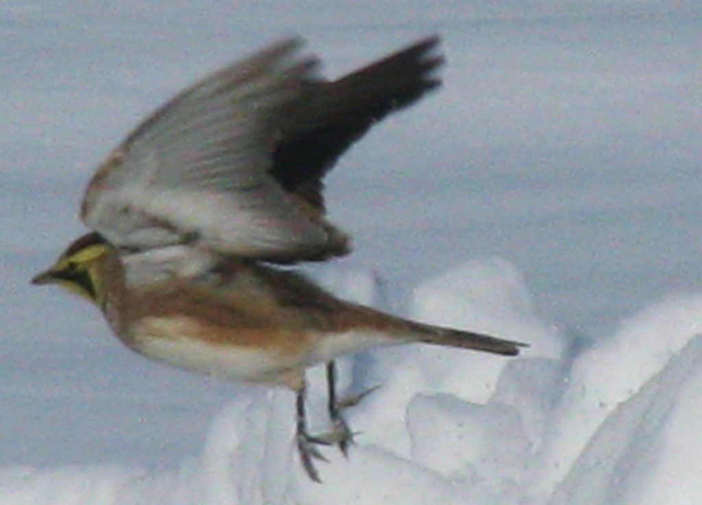 "A Horned Lark in flight, showing the long hind toe nails that many ""field birds"" have that helps them keep their grip in slippery field conditions."