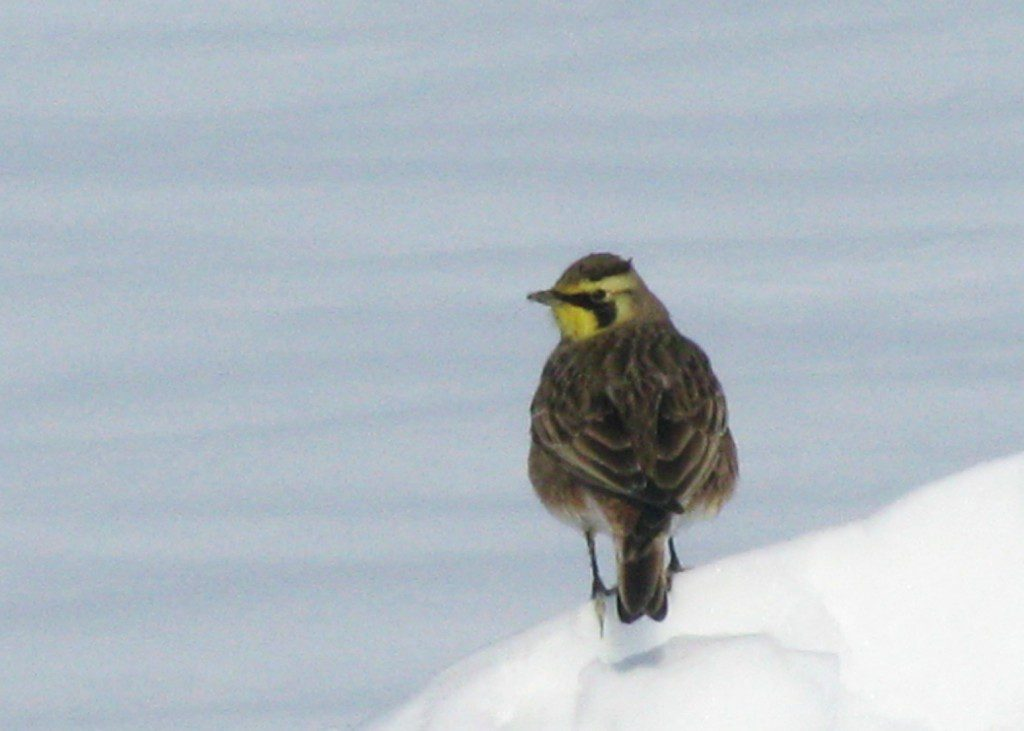 A Horned Lark displays the reason for its name: tiny horn-like feather tufts atop its head.
