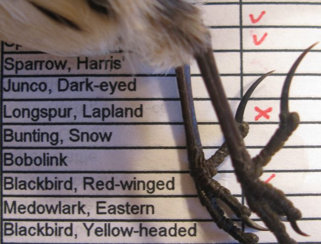 The namesake spurs on this deceased lapland Longspur are quite evident. (photo by Bill Stewart 12.27.09)