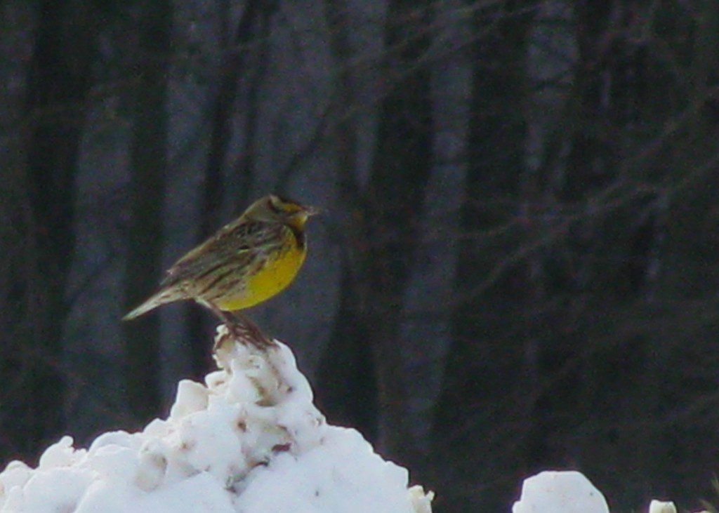 An Eastern Meadowlark perches aatop a snow pile, displaying its brilliant yellow chest.
