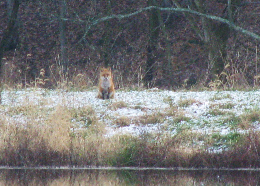 A Red Fox patiently waits at the snowy edge of a pond this morning.  Photo by Derek Stoner 12.6.09