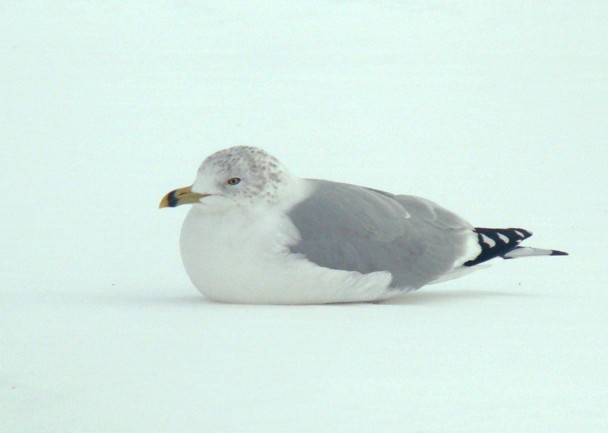 A Ring-billed Gull, Larus delawarensis, sits on the snow near its namesake, the Delaware Bay.