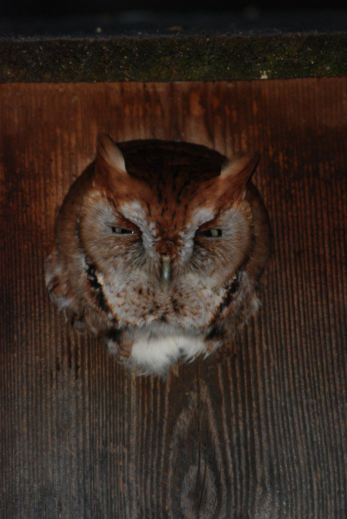 A red phase Eastern Screech-owl peers from a backyard bird box.  Photo by Jim White.