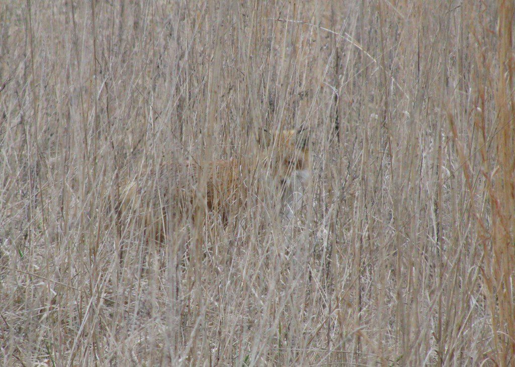 A Red Fox blends in to a warm-season grass meadow at Burrows Run Preserve.