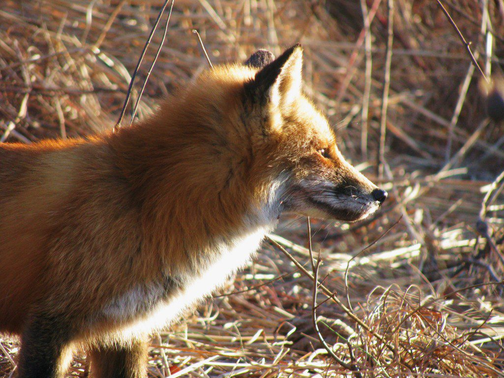 A fox's ears hep it to pinpoint the locations of sounds and potential prey.