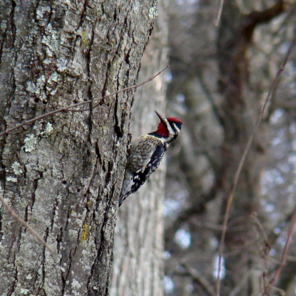 "A Yellow-bellied Sapsucker ""Mews"" from a Red Maple near Elmer, NJ."