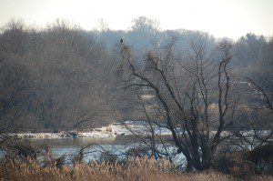 Bald eagle sitting in a tree on the edge of the marsh by John Harrod