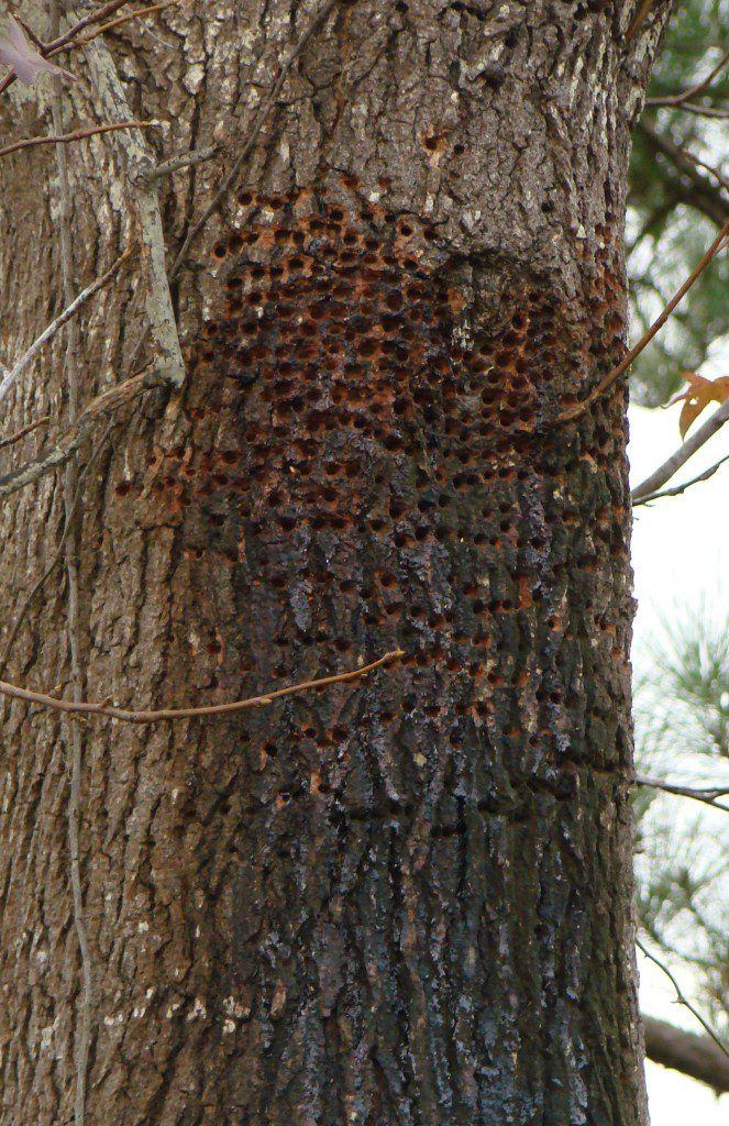 Rows of wells drilled by a Yellow-bellied Sapsucker in a Sweetgum tree.
