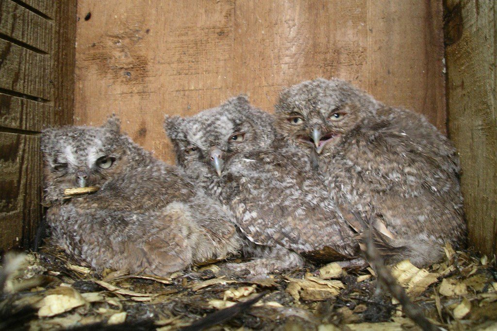 Sometimes Eastern Screech-owls nest in bird boxes.  These three chicks were raised in a box at the Delaware Nature Society's Burrows Run Preserve.  Photo by Joe Sebastiani