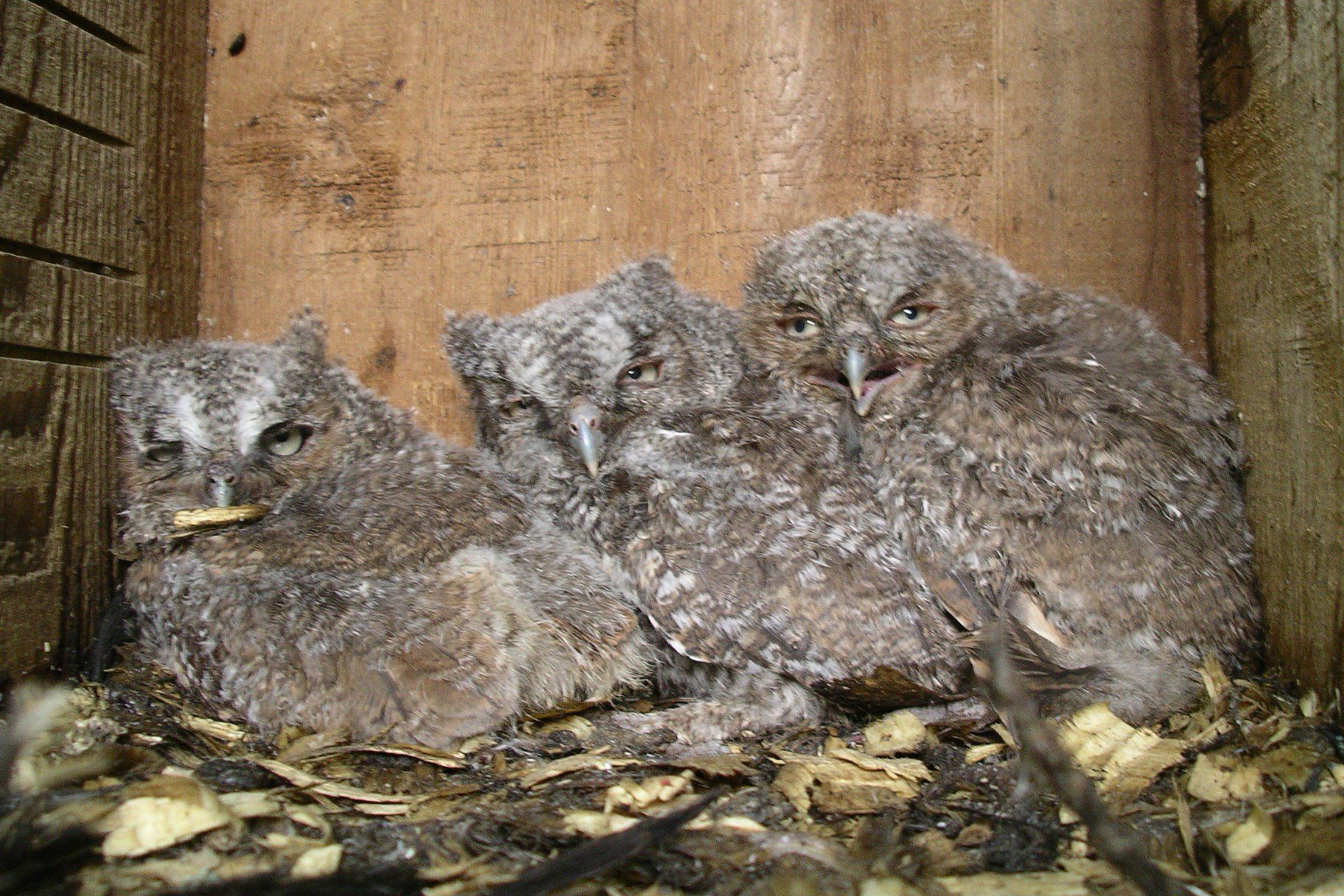 Sometimes Eastern Screech-owls nest in bird boxes.  These three chicks were raised in a box at the Delaware Nature Society's Coverdale Farm Preserve.  Photo by Joe Sebastiani