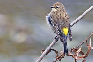 Yellow-rumped Warbler. By Alan D. Wilson, www.naturespicsonline.com