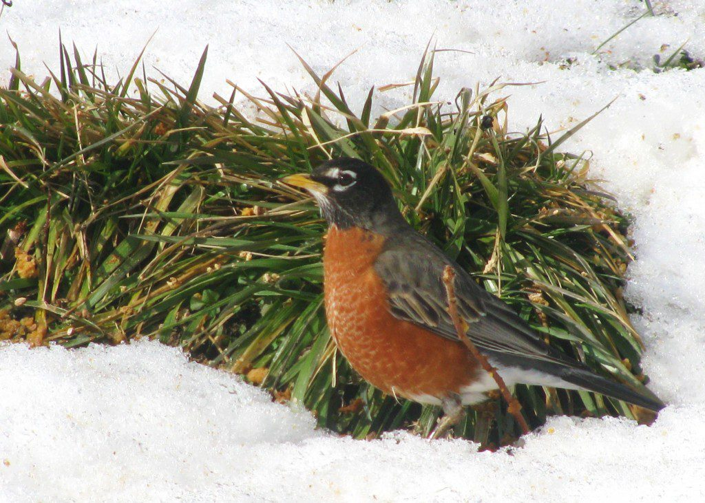 An American Robin investigates a patch of grass amidst the snow.  2/15/10 by Derek Stoner.