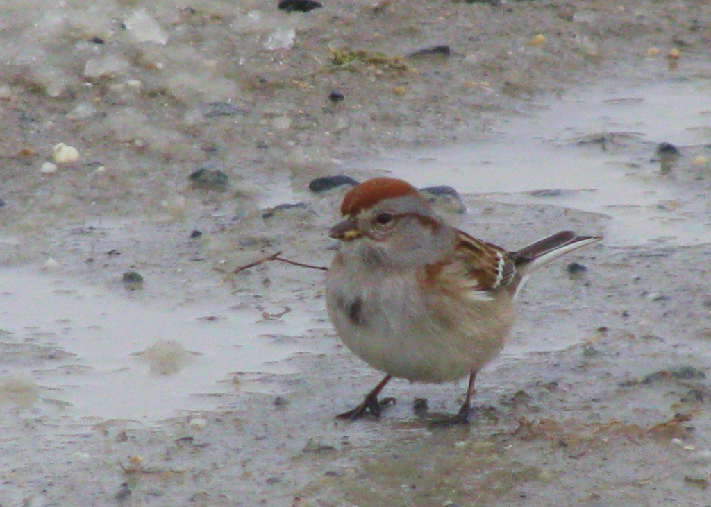 An American Tree Sparrow at Bombay Hook NWR.  2/15/10 by Derek Stoner.