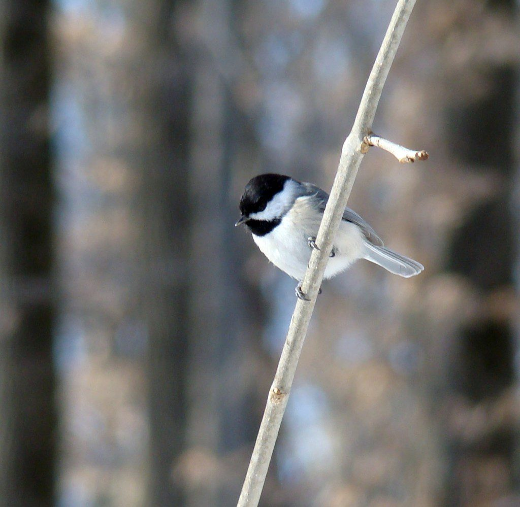 Carolina Chickadees are our local chickadee species.  Black-capped Chickadees visit Delaware in some winters, but this winter, I have only seen one of them.