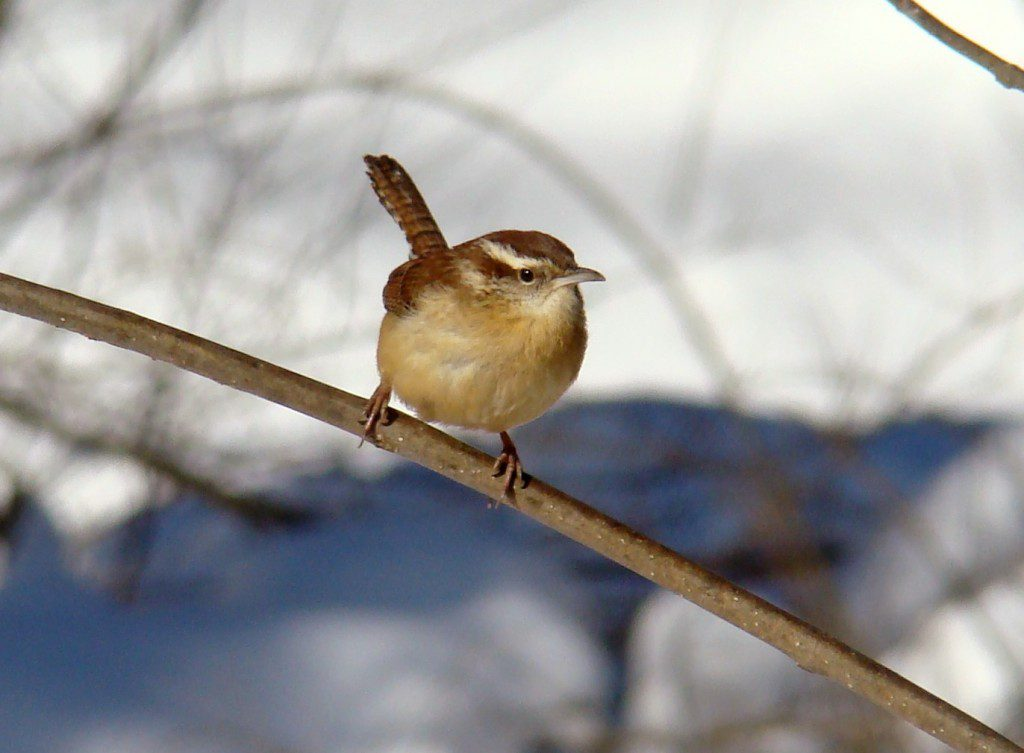 Carolina Wrens will visit the feeder as well, especially if you put out a suet cake.  However, they will also eat some seeds.  This species has historically had population crashes during severe winters with deep snow.  We will see what Carolina Wren populations look like in our area after this winter.