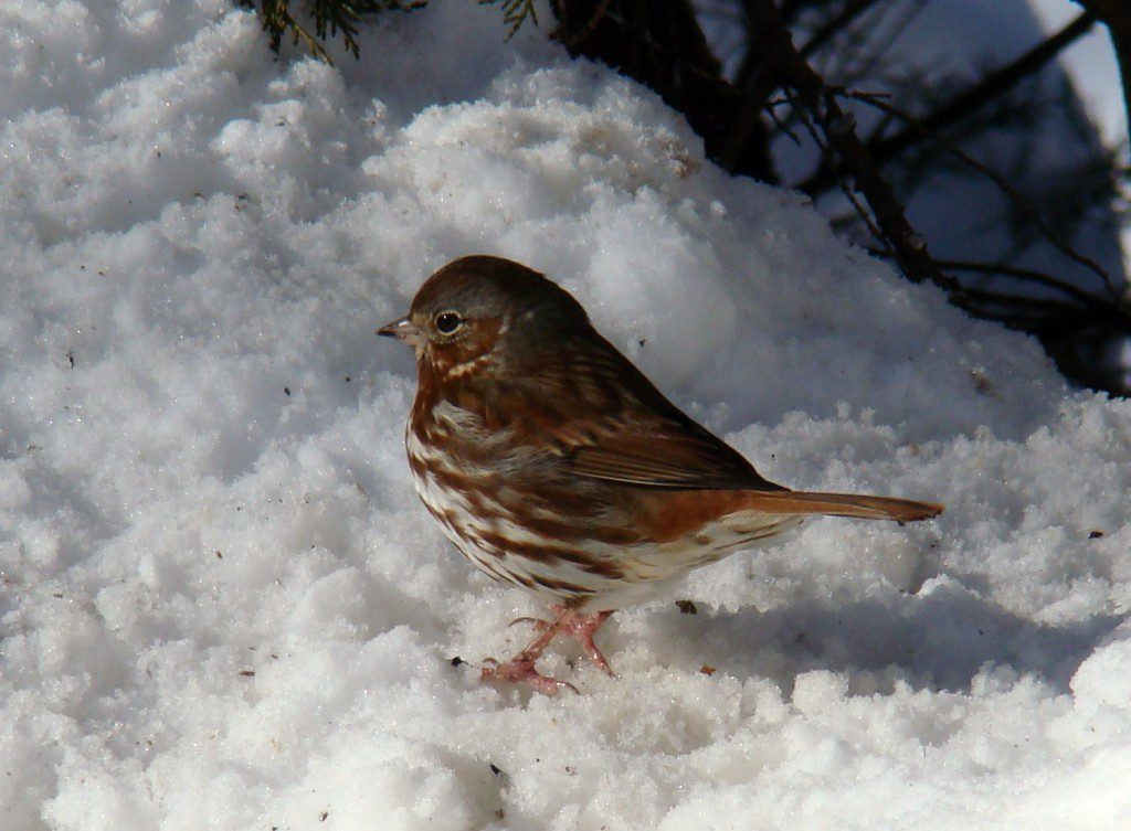 This Fox Sparrow had not visited our feeder all winter until the big snowstorm last weekend.  We also had an Eastern Towhee and a Field Sparrow that made a first-time appearance after the snow.  Birds will find your feeder from the surrounding countryside when weather conditions make it tough to find natural food.