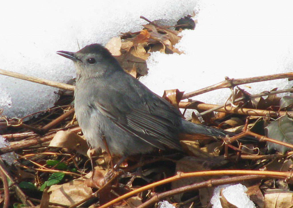 A Gray Catbird scratches for food in the dead leaves amidst the snow in Port Penn, DE.  2/15/10 by Derek Stoner