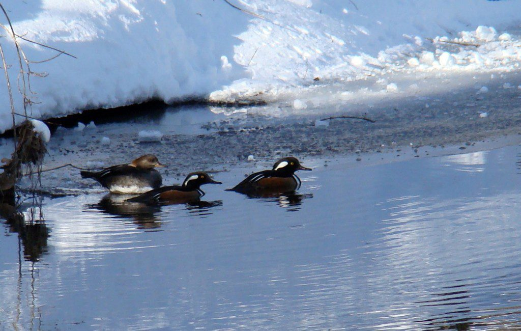 A trio of Hooded Mergansers swim up the Red Clay Creek near the Ashland Covered Bridge.