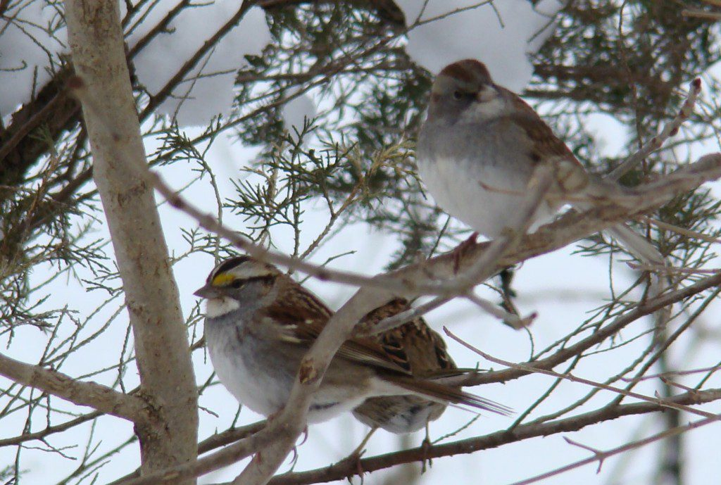 This strange visitor to my yard is on the right.  It was hanging out with some White-throated Sparrows.  What in the world was it?  Photo by Joe Sebastiani