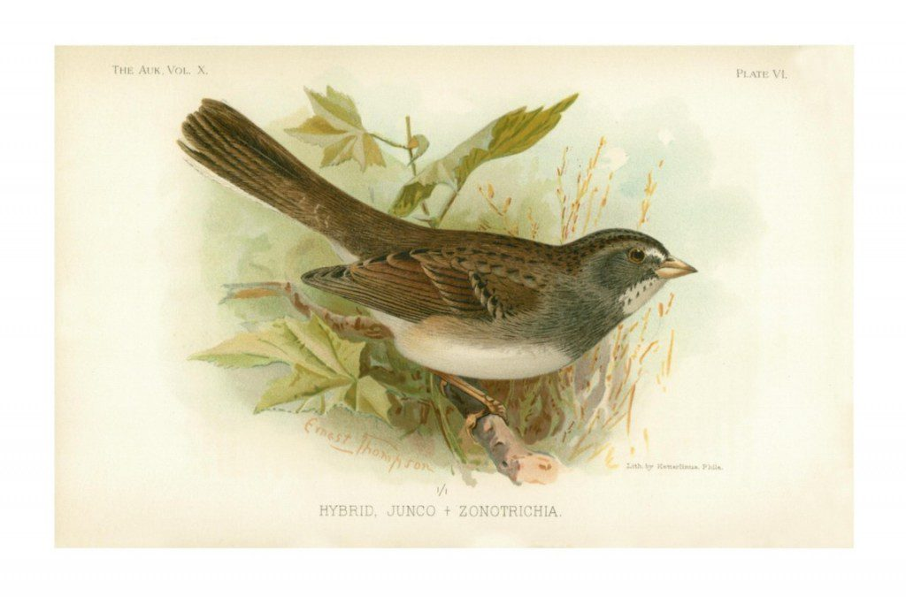 White-throated Sparrow X Dark-eyed Junco hybrid.  Witmer Stone.  1893.  American Ornithologists Union.  Photo from www.jstor.org