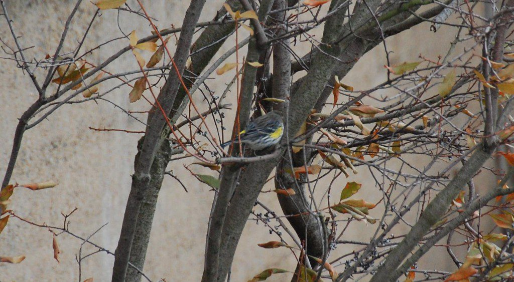 Yellow-rumped Warbler in a bayberry on the Wilmington Riverfront. Photo by John Harrod.