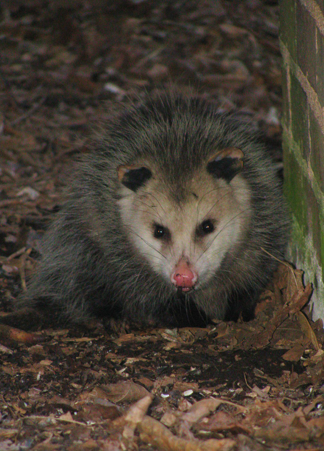 opossum the nature of delaware
