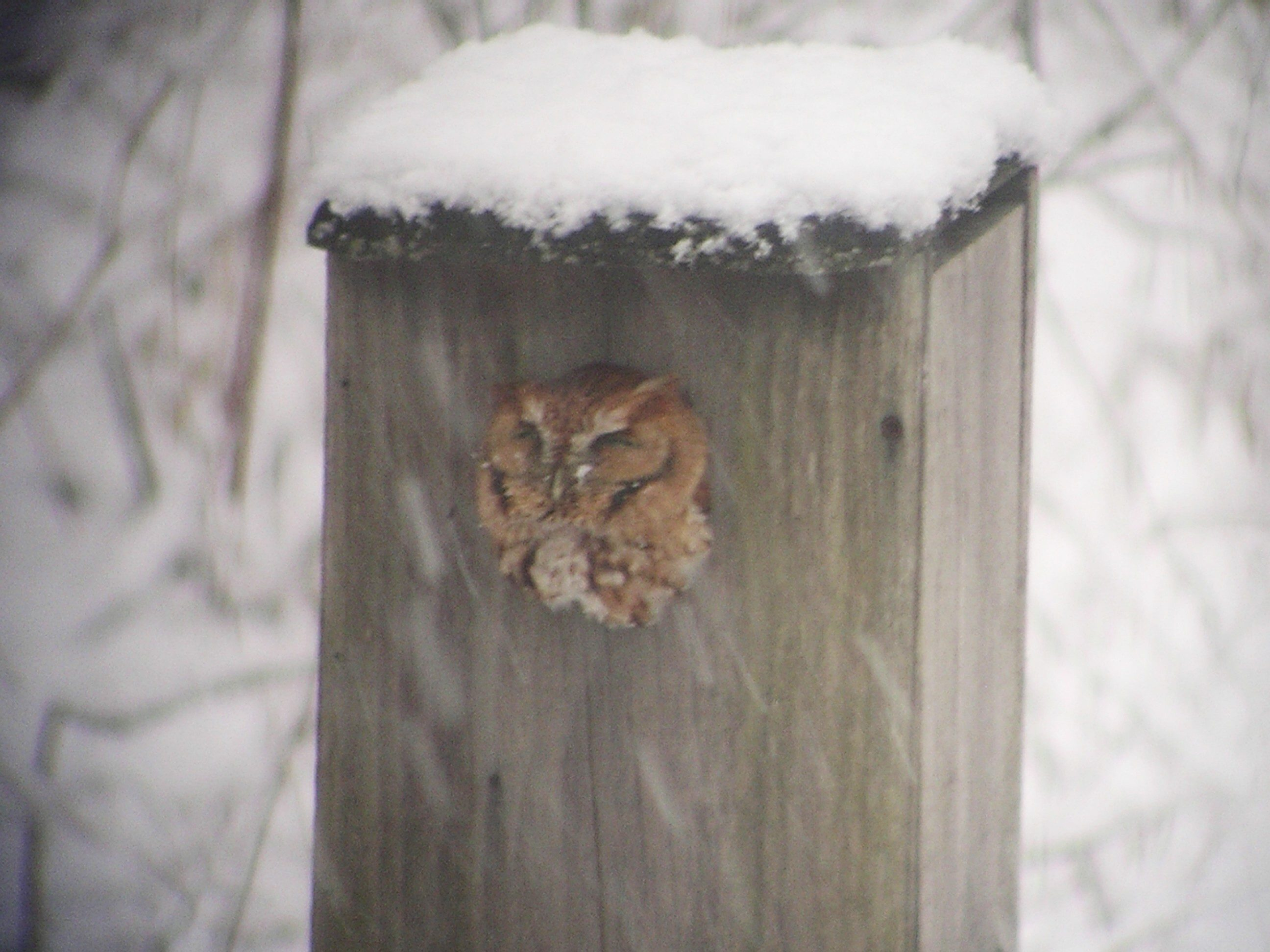 If you install a box in your yard, make sure you can see the entrance hole, as Screech-owls frequently take a look around during the daytime, like this one at my house.  Photo by Joe Sebastiani