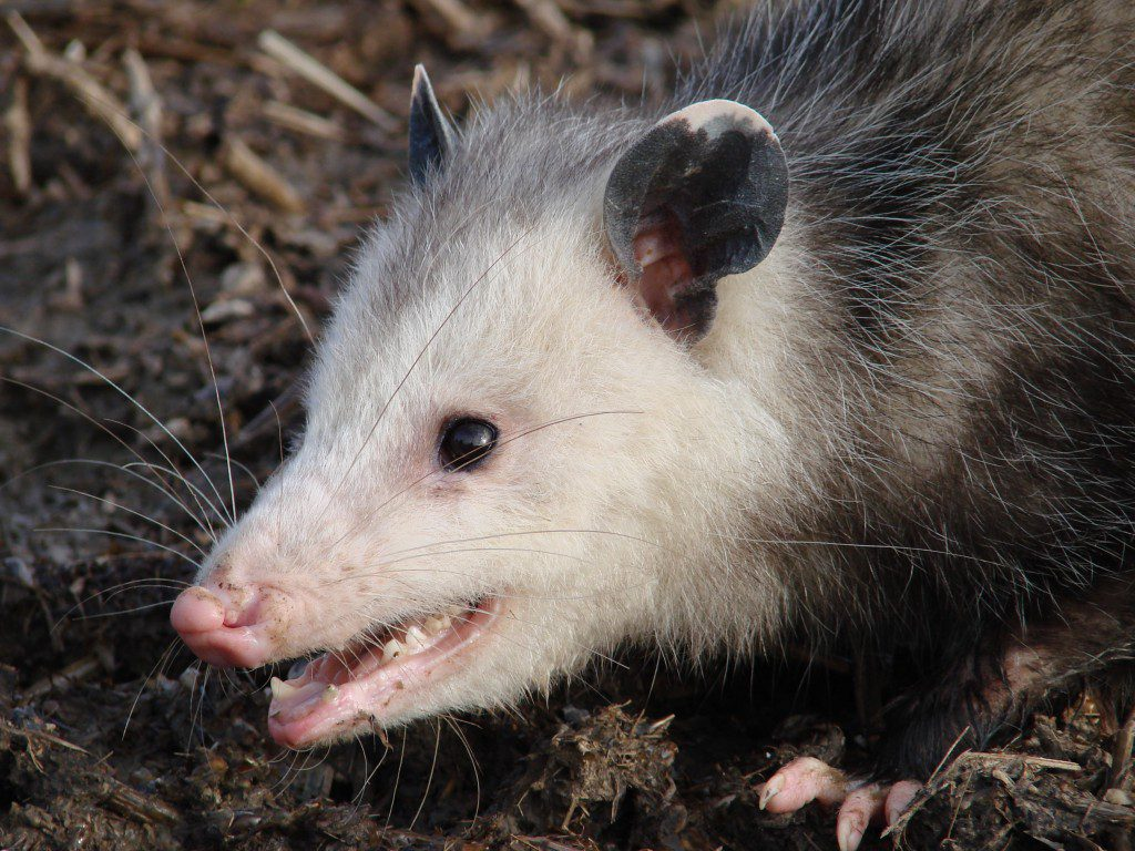 Opossum. Photo by Derek Stoner.
