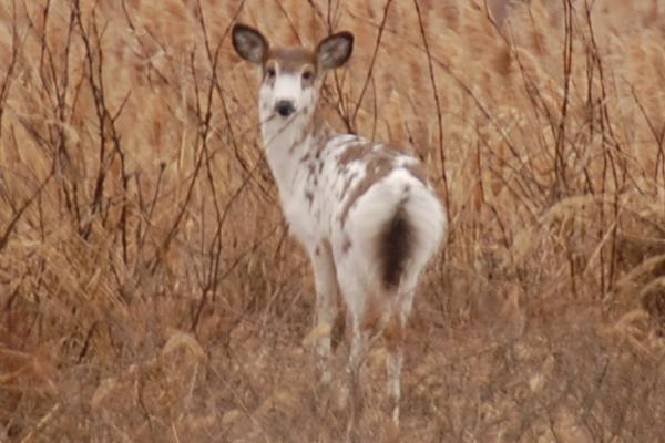 A piebald deer at the Russell W. Peterson Urban Wildlife Refuge