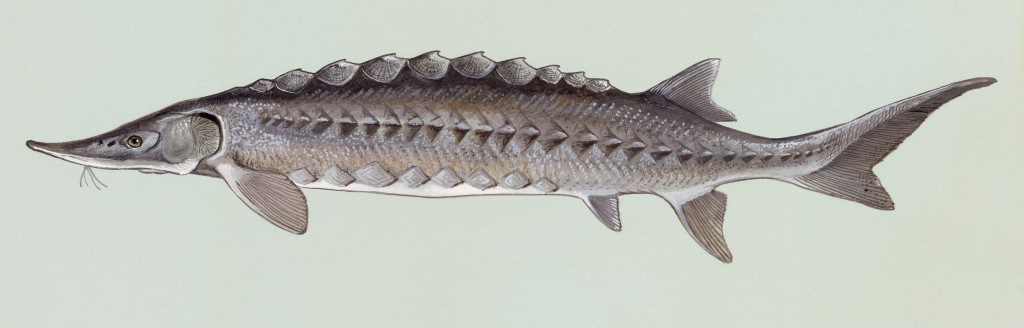 Atlantic sturgeon. Credit: U.S. Fish and Wildlife Service, Duane Raver.