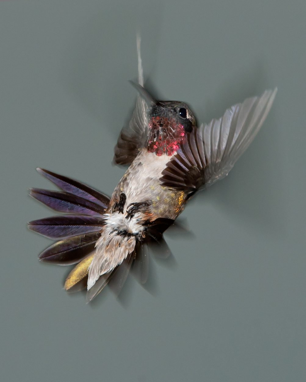 ruby red humming birds Ruby-throated hummingbirds: comprehensive information on the  the ruby- throated hummingbird male will flash his red throat feathers and perform a dive.