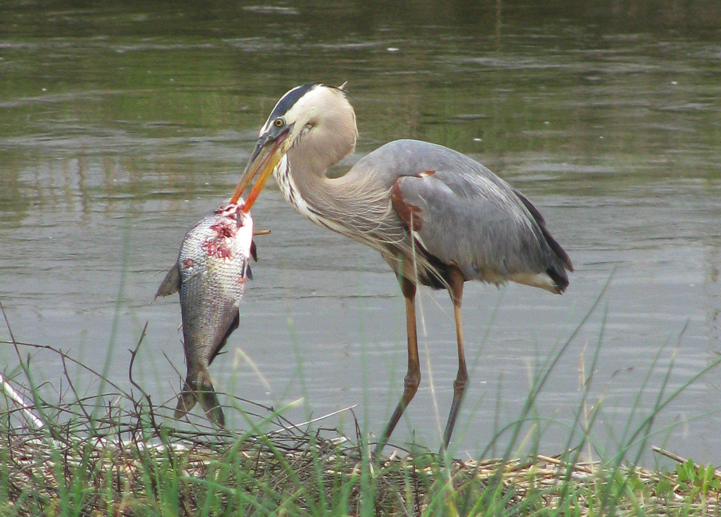 Extreme eating more than a beakful the nature of delaware for Blue heron fishing