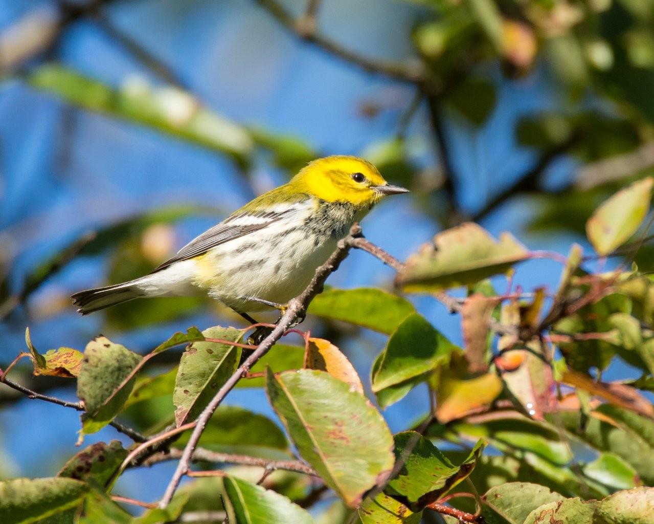 9-20-12 Black-throated Green Warbler - Ashland-1