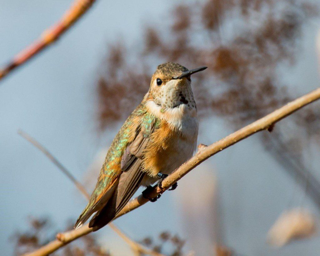 This Rufous Hummingbird has been in a back yard in Prices Corner.