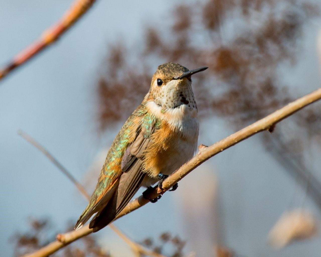 1-3-13 HY Female Rufous Hummingbird - Prices Corner, DE-24