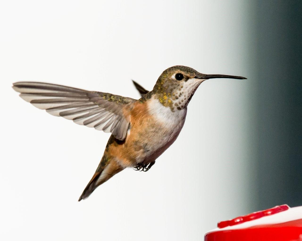 My second Rufous Hummingbird, out of 3 for the day, has been coming to a feeder at a home in Wilmington.